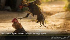 Jenis Jenis Ayam Aduan Terbaik Sabung Ayam