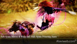 Arti Ayam Meron & Wala dan Jenis Ayam Petarung Juara