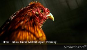 Teknik Terbaik Untuk Melatih Ayam Petarung