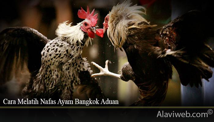 Cara Melatih Nafas Ayam Bangkok Aduan
