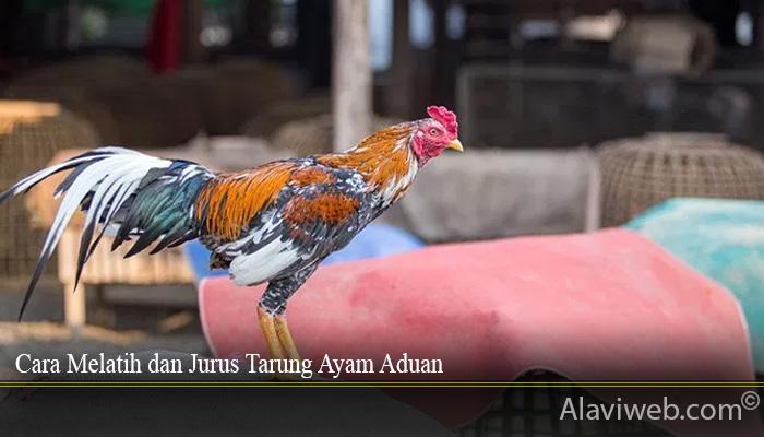 Cara Melatih dan Jurus Tarung Ayam Aduan